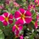 roza-zuti