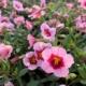 svjetlo-roza