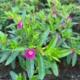 tamno-roza