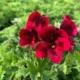 tamno-crvena